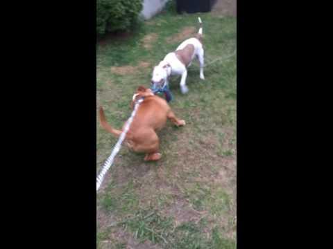 Light brown American pitbull terrier vs female American shaffordshire terrier