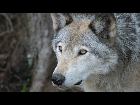 Вопрос: Сможет ли человек победить вожака стаи волков?