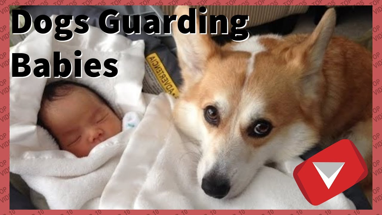 Dogs Protecting Babies From Danger [cute] (TOP 10 VIDEOS)