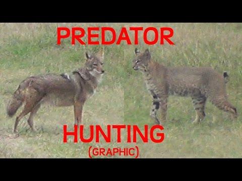 Hunting Predators- Bobcat And Coyote (GRAPHIC!)