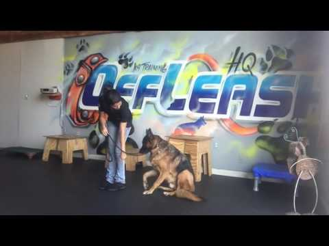 2-Year Old Dog Aggressive German Shepherd, Bosco! German Shepherd Training Virginia