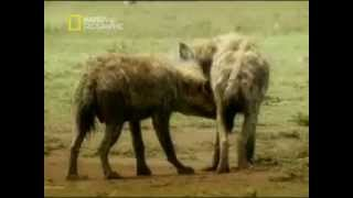 How Hyenas Have Sex! Two Penises on a Collision Course!!!