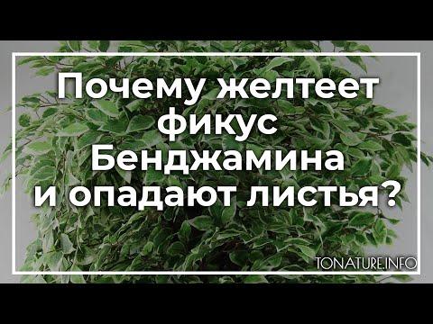 Почему желтеет фикус Бенджамина и опадают листья? | toNature.Info