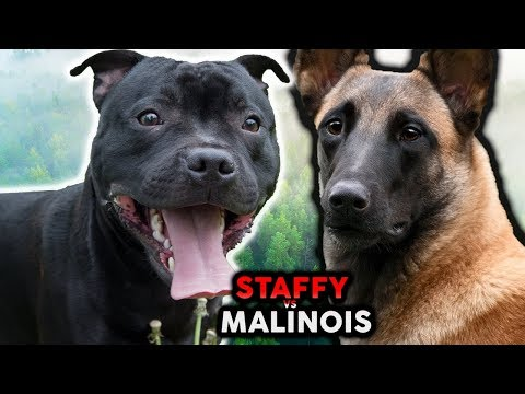 STAFFORDSHIRE BULL TERRIER VS BELGIAN MALINOIS! The Best Guard Dog Breed For First Time Owners?