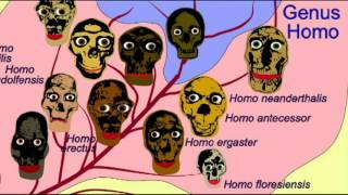 HOMINID FAMILY TREE 8  Homo erectus 2