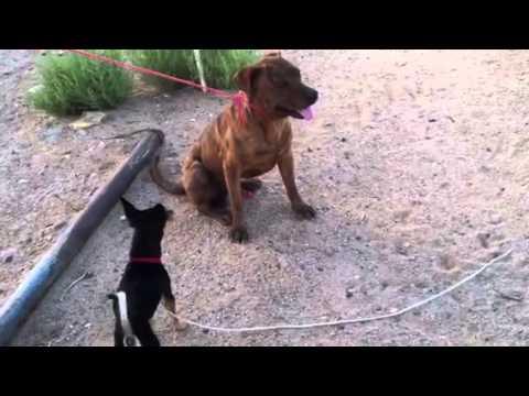 Chi Chi Barking at my Other Dog