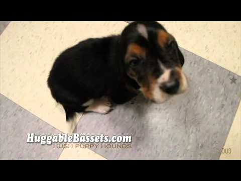 Basset Hound and her pups