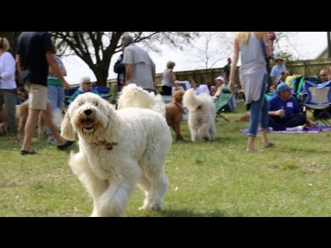 Moss Creek GoldenDoodle Romp 2016