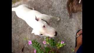 English Bull Terrier Hoku Hawaii And Her Sister