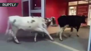 Looking for good deals? Cows stroll into mall in Russia