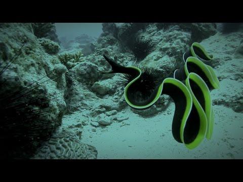 Seaunseen | Mesmerizing Ribbon Eel In Dar Es Salaam, Tanzania