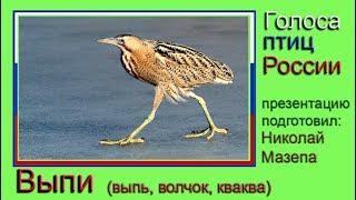Выпи. Голоса птиц России