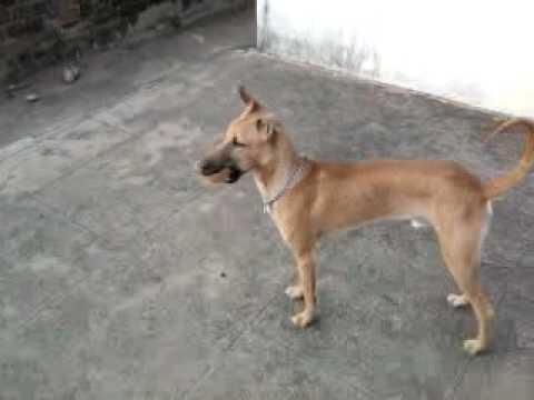 Kombai Dog Breeds