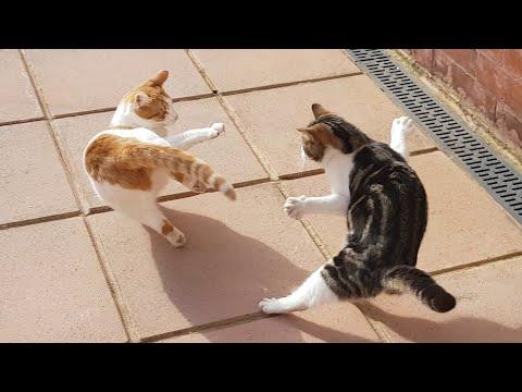 Crazy Fur Flying Cat Fight : Slow Motion : 4K Ultra Hd 2160p Video