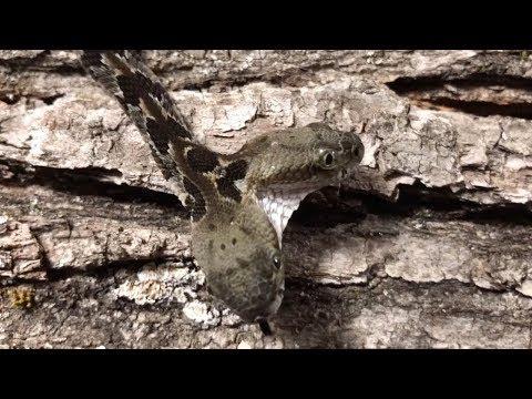 Bizarre Two-Headed Rattlesnake