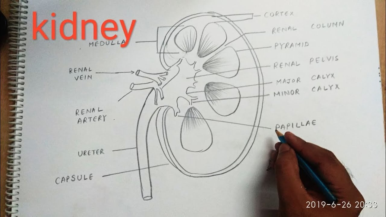 Download How to draw kidney step by step