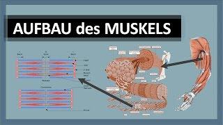Muskelanatomie - Aufbau des Muskels - Skelettmuskulatur im Detail - Aktin, Myosin & Z-Scheiben