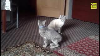 Кот просит кошку