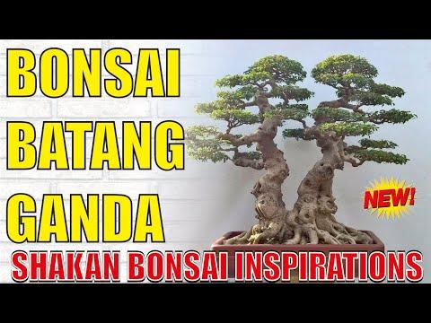 111-inspirasi-bonsai-gaya-shakan-(batang-ganda)-paling-unik-di-dunia