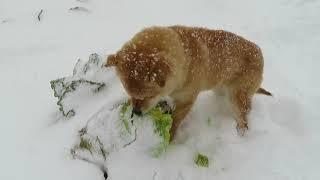 雪の畑で白菜を食べる山陰柴犬の子犬モモ。雪下白菜が美味しそうです(笑)