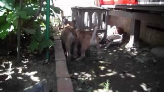 二匹仲良く裏庭で遊んでいます。2013.5.30撮影。 http://nokoheri.web.f...