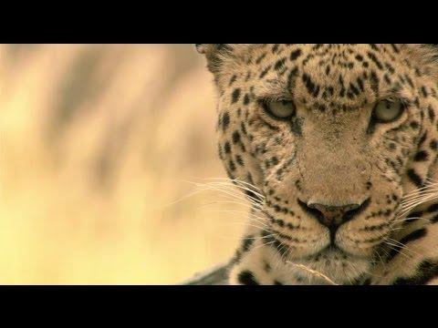 Download L'île aux léopards - Documentaire animalier 2015