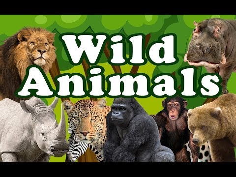 WILD ANIMALS | Learn Wild Animals Sounds and Names For Children, Kids And Toddlers