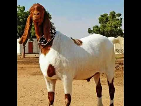 Funny Song for Qurbani Animals