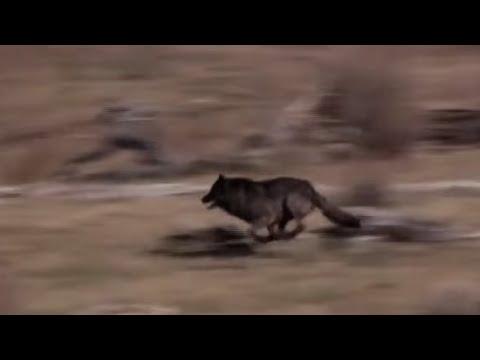 Soltaron A 14 Lobos En Un Parque, Pero Nadie Estaba Preparado Para Esto. Increíble