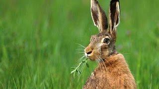 Смелый заяц,хозяин леса :)