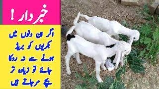 Goat Breeding time | Goat breeding season | Goat breeding in Pakistan | Goat breeding sign