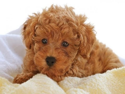 Poodle dogs - One of the best intelligent dogs in the world