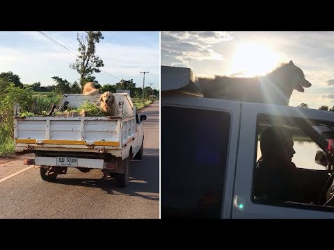 Dogs Ride On Top Of Truck