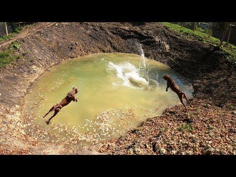 Первые прыжки питбуля Спайка в новом озере!!!! Питбуль купается/прыжки питбуля в воду/озеро Агопа.