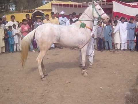 pakistan horse dancing part 2