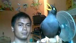 burung jalak kebo moncer