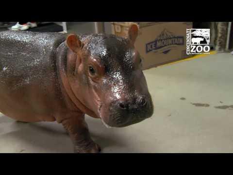 Premature Baby Hippo Fiona Breaks 100 Lbs - Cincinnati Zoo