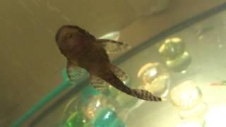АКВАРИУМНЫЕ РЫБКИ: СОМИК АНЦИСТРУС http://goldfish.moy.su/index/0-8(КУПИТЬ АКВАРИУМНЫХ РЫБОК СОМИК АНЦИСТРУС http://goldfish.moy.su/index/0-8 ТЕЛ. 063 139 48 58 ДОСТАВКА ТОЛЬКО ПО ГОРОДУ КИЕВУ!..., 2012-11-29T23:42:46.000Z)