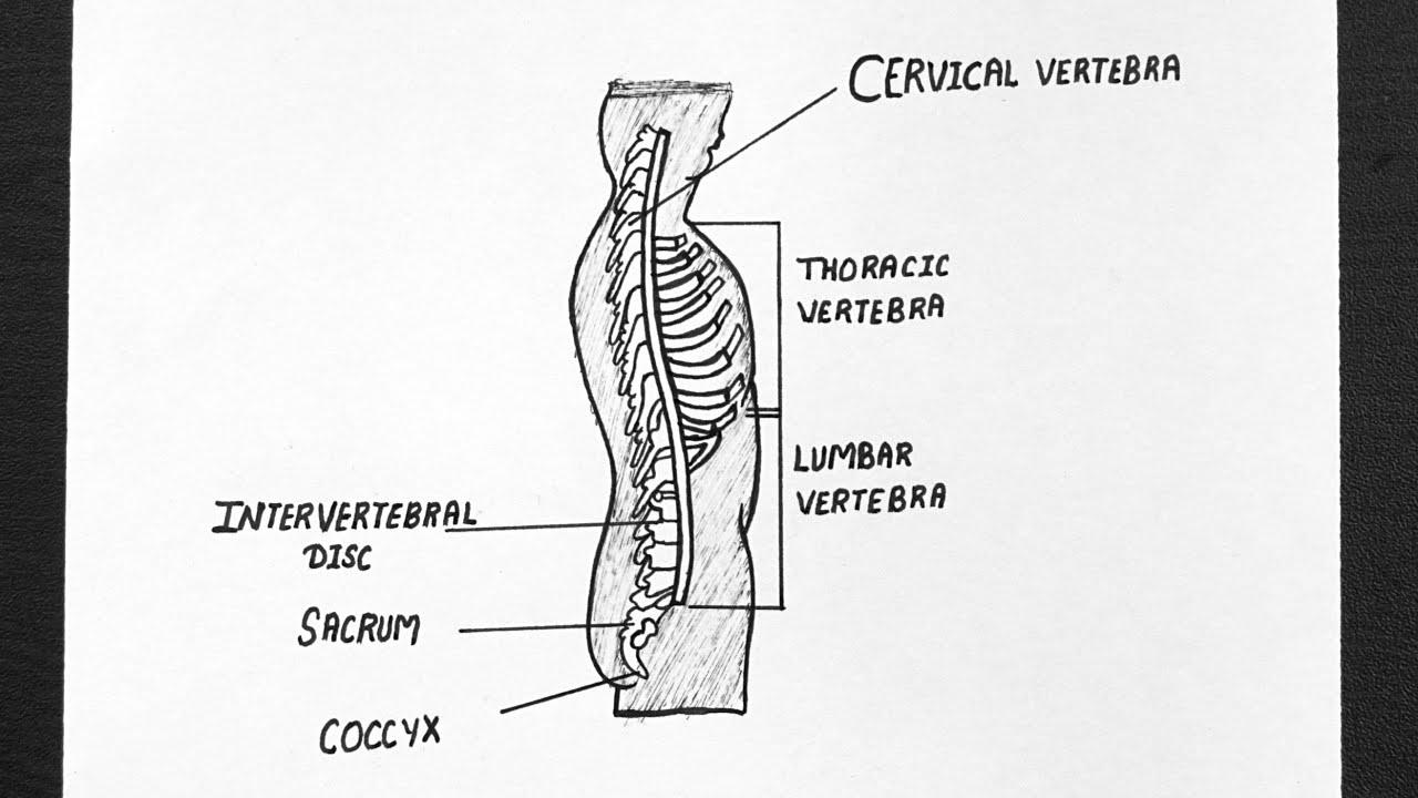 Wiring And Diagram: Diagram Of Vertebral Column