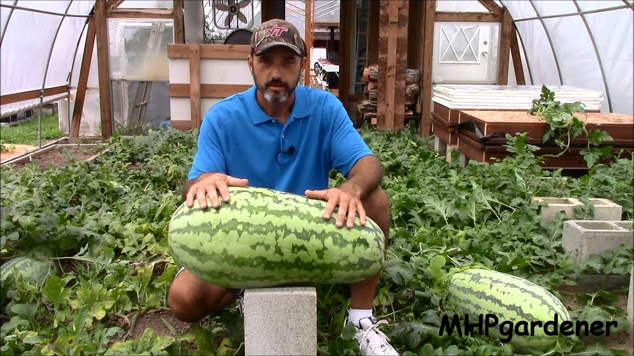Watermelons in greenhouses: correct growing