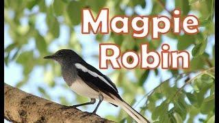 鵲鴝在我家鸟屋 Oriental Magpie Robin babies in my garden birdhouse