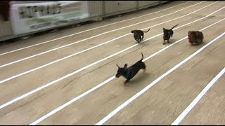 短腿無敵!臘腸犬賽跑萌翻了【大千世界】狗的奇裝異服|澳洲臘腸犬大賽
