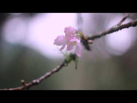 Sakura Mekar di Kebun Raya Bali