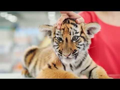 Вклад «Амурский тигр» -