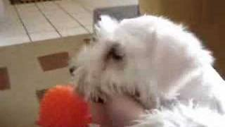 White Miniature Schnauzer - Eros Playing