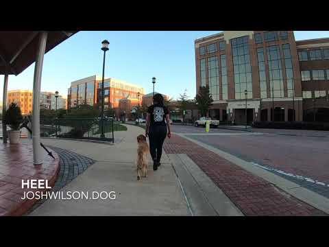 "Golden Retriever ""Orion"" l Amazing Transformation l Hampton Roads Dog Trainers"