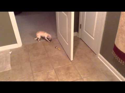 Guilty Chihuahua Takes make-up brush! (Cute!)