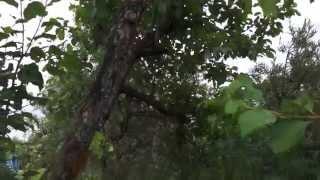 3-и большие яблони Антоновки