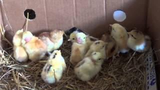 Kurka gołoszyjka i jej 1 dniowe kurczaczki