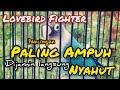 Suara Pancingan Lovebird Fighter Dijamin Langsung Nyahut Burung Pengicau  Mp3 - Mp4 Download